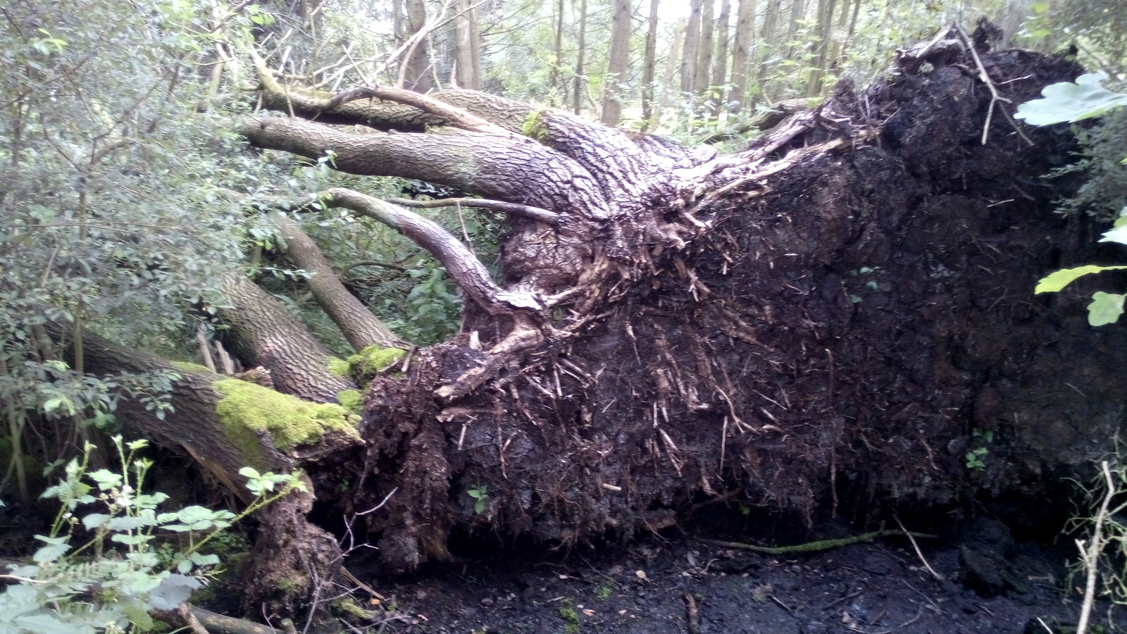 entwurzelter Baum im Himmelmoor bei Quickborn
