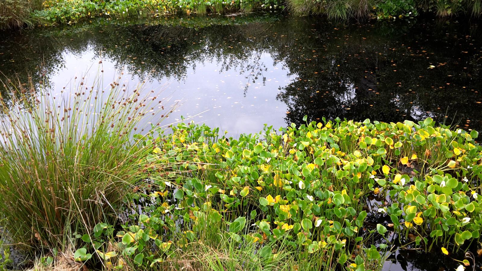 Wasserpflanzen im Himmelmoor bei Quickborn